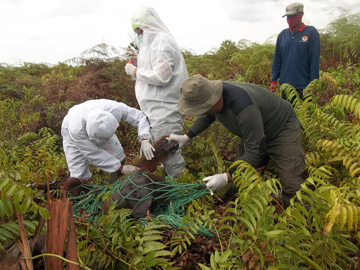 Male orangutan being check for health