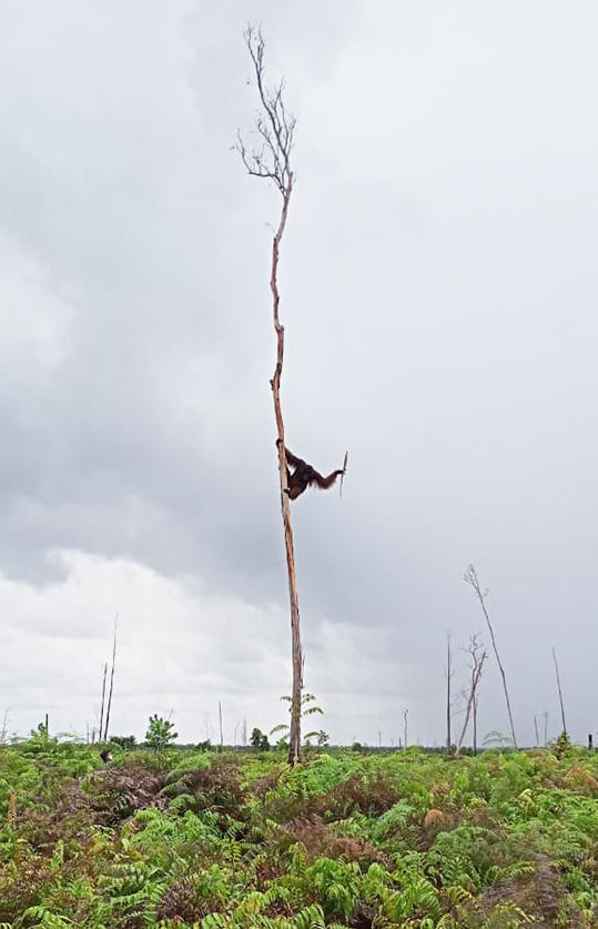 Male orangutan in a tree
