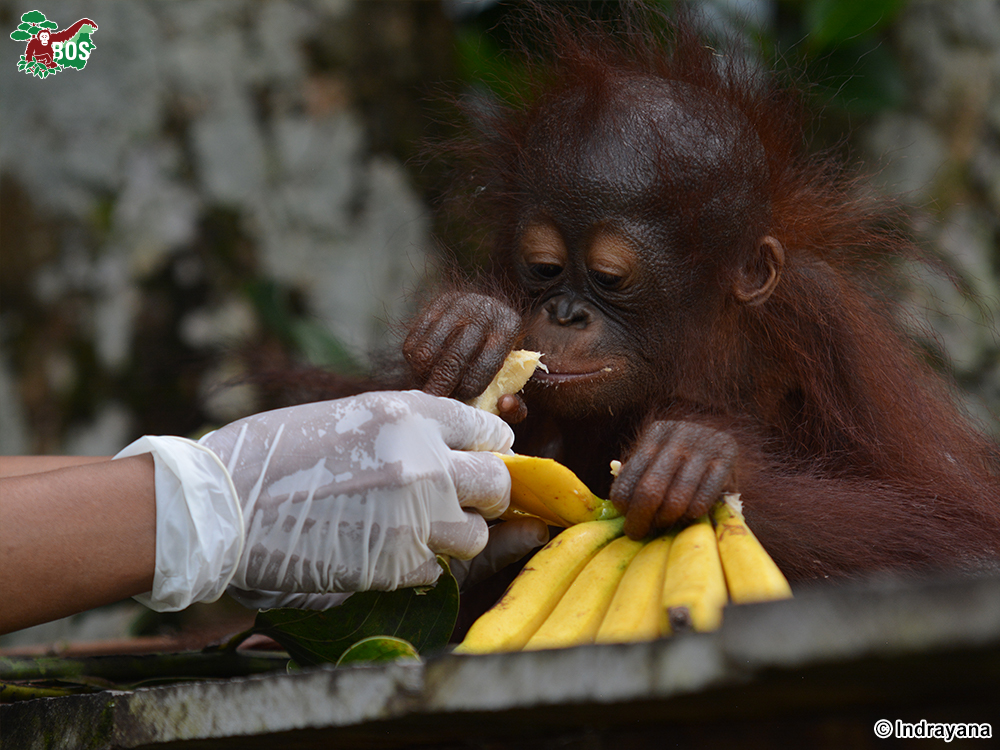 yet to be named banana by Indrayana