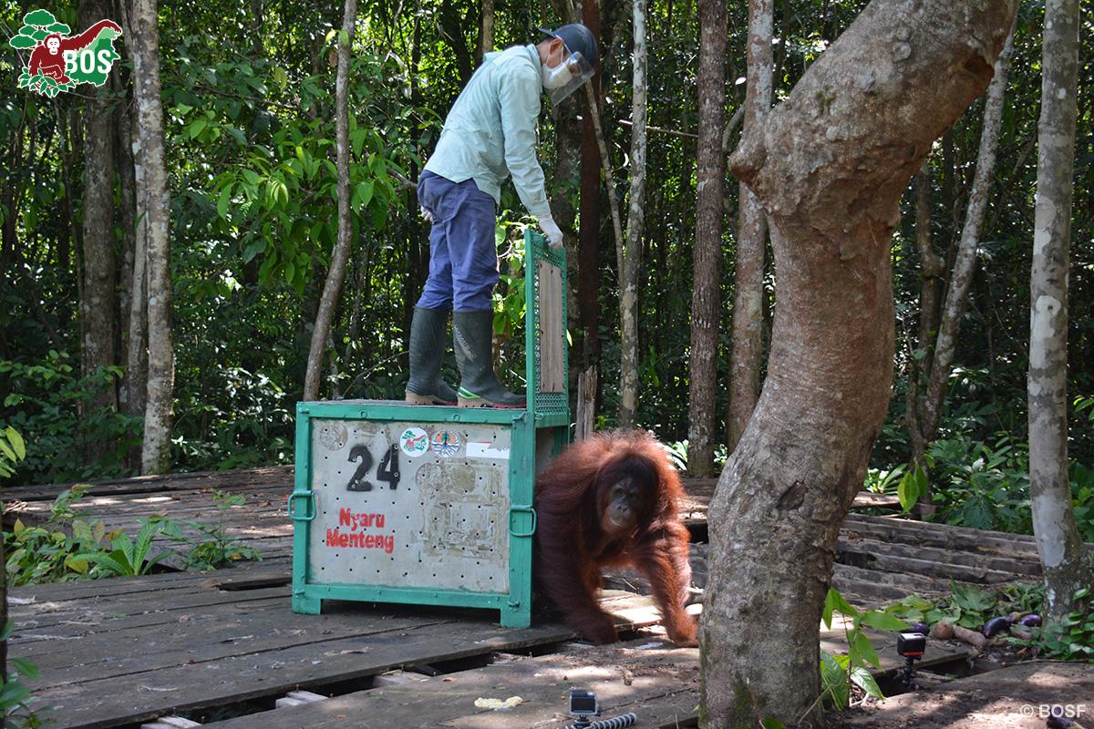 BOS Orangutan Freedom Cinta pre-release