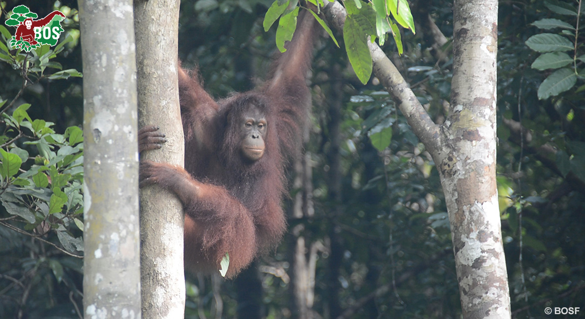 BOS Orangutan Freedom Hanin pre-release