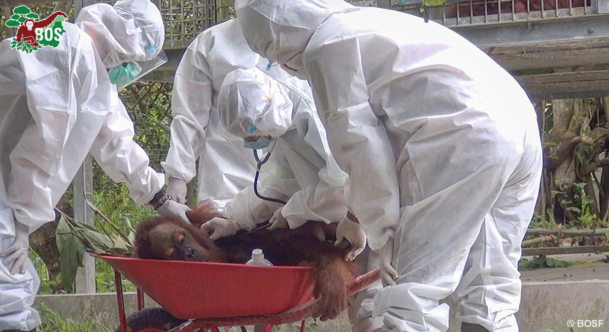 BOS Orangutan Freedom Jumbo sedated