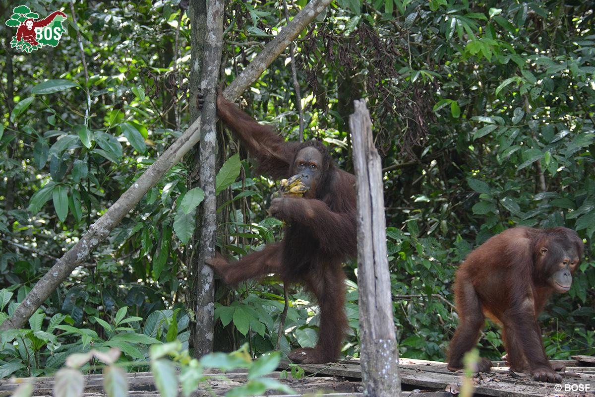 BOS Orangutan Freedom Jumbo+Valentino