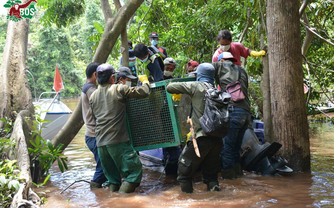 Orangutan Jungle School Stars: Cinta, Jumbo and Valentino; Plus Five More Orangutans Start Life on a Pre-Release Island