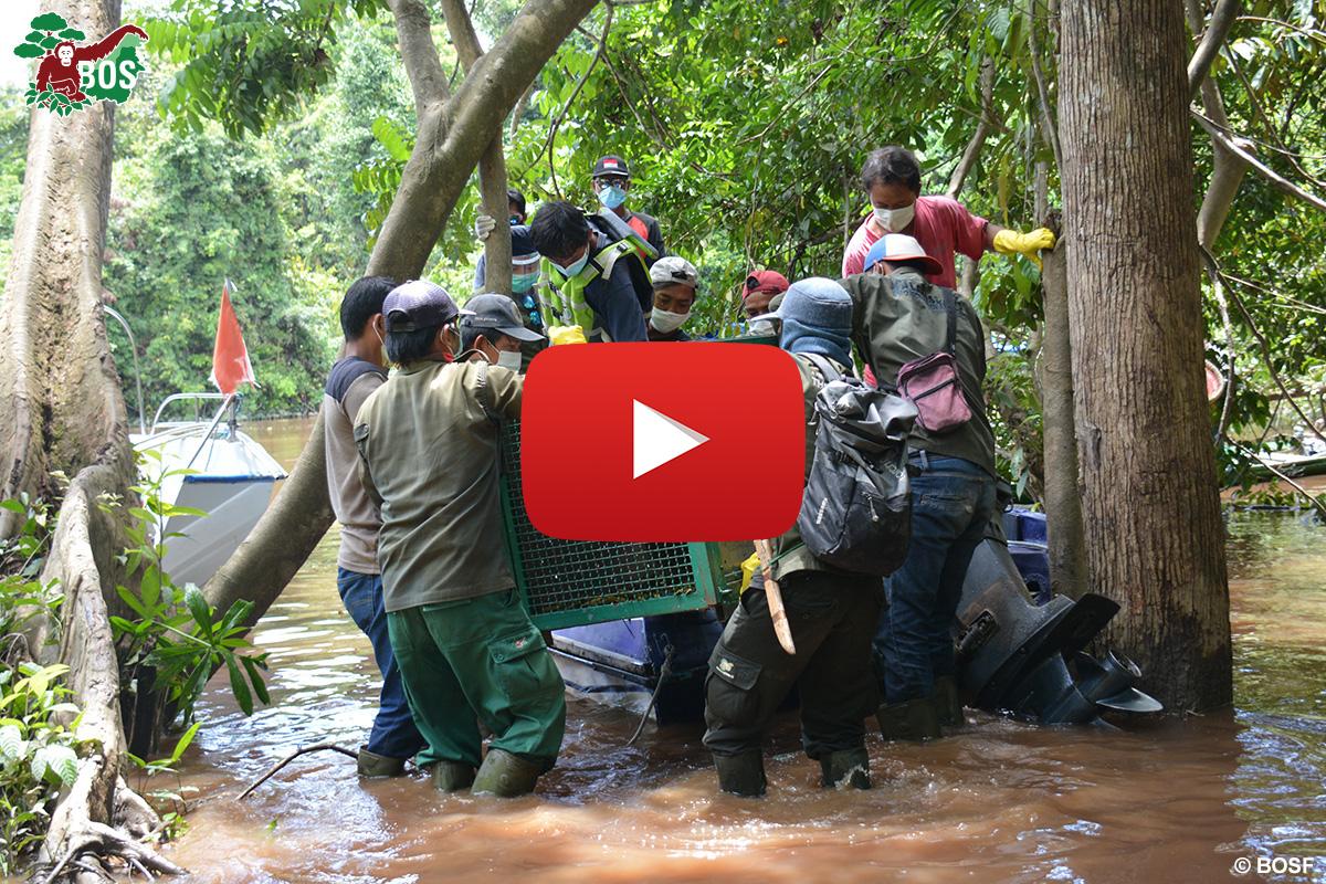 BOS Orangutan Freedom Unloading YouTube