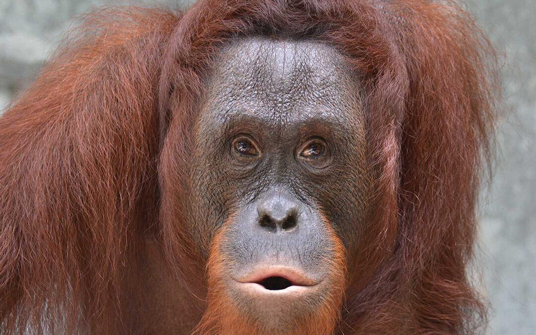 In collaboration to release seven orangutans into prime habitat